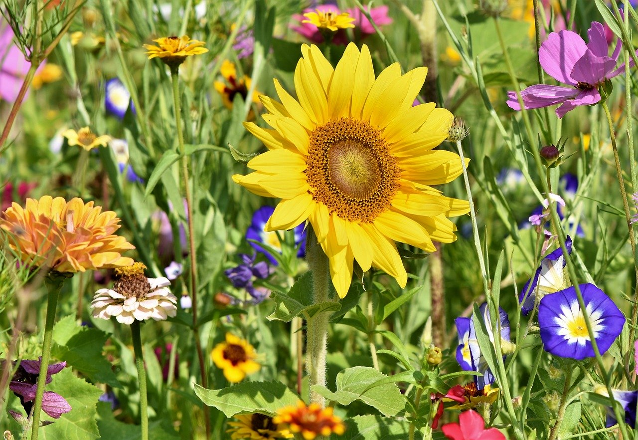 Sunflower - Bild von Capri23auto auf Pixabay